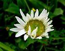 A Bubbly Daisy by Larry Llewellyn