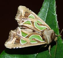 Green Blotched Moth - Cosmodes elegans by Gabrielle  Lees