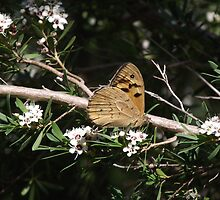 brown butterfly by liam mcminn
