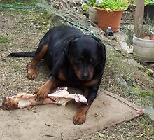 Caesar and his bone . . . Kilmore East  Vic  Australia by Margaret Morgan (Watkins)