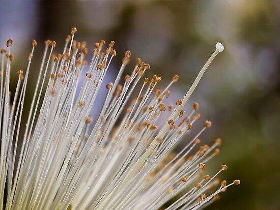 Heart of a pseudobombax flower by Celeste Mookherjee