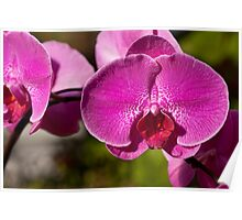 Orchid. Poster