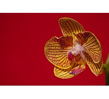 Orchid VII Photographic Print