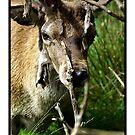 Oh Deer by Kevin Meldrum