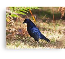 Male Satin Bower Bird Canvas Print
