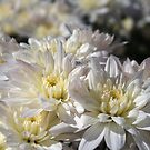 White chrysanthemums by abbycat