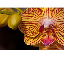 Orchid XII Photographic Print