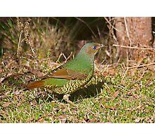 Female Satin Bower Bird Photographic Print