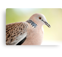 Spotted Turtle Dove Canvas Print