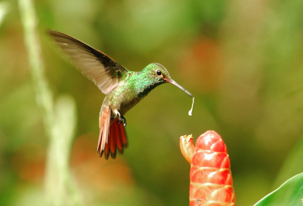 Humming bird Costa Rica  by Marieseyes