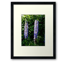 Glowing Lupin Framed Print