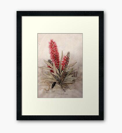 Callistemon Foresterae:  Population 3000 Framed Print