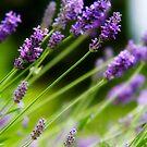 Garden Delights - Lavender by Melanie Simmonds