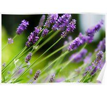 Garden Delights - Lavender Poster