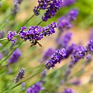 A Bee in the Lavender by Melanie Simmonds