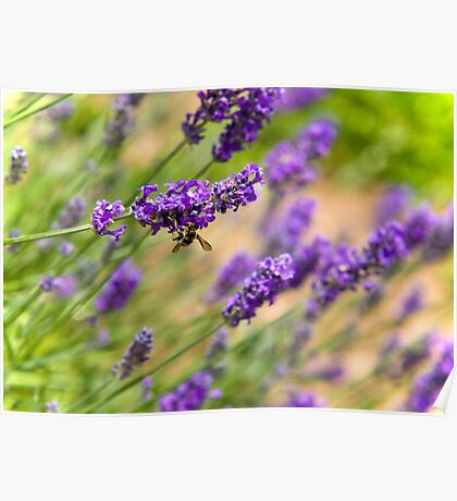 A Bee in the Lavender Poster