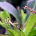 Baby Praying Mantis by Kate Eller