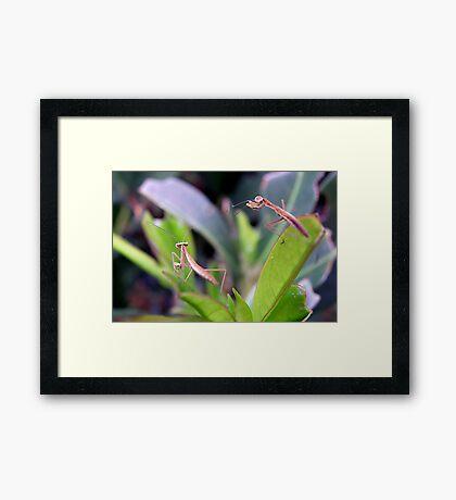 Baby Praying Mantis Framed Print