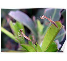 Baby Praying Mantis Poster