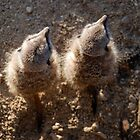 Meerkats From above  by Marc Garner