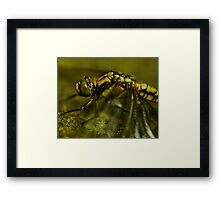Four-Spotted Chaser Closeup Framed Print