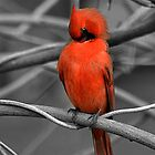 Cardinal Preening by Sheryl Langston