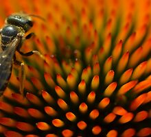 Bee on Echinacea by Paula Betz