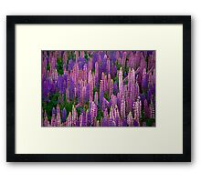 Lupins Lupins Lupins Framed Print