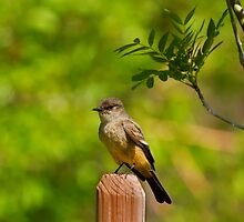 Say's Phoebe by John Absher