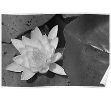 Water Lilies - Chantilly, VA Poster