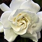 Gardenia Queen by heatherfriedman