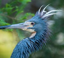 Tri-Color Heron by Bonnie T.  Barry