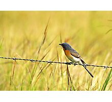Bluebird on a Wire Photographic Print