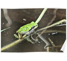 Tree Froglet and Grass Poster