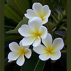 Singapore White Frangipani - Sun Kissed by jono johnson