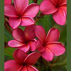 Blood Red Frangipani - Intense by jono johnson