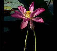 illusional Lotus by jono johnson