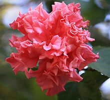 Hibiscus rosa-sinensis 'Mrs G. Davis' by aussiebushstick