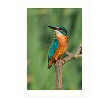 Majestic Kingfisher Art Print