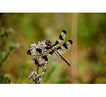 Twelve Spotted Skimmer Dragonfly Photographic Print