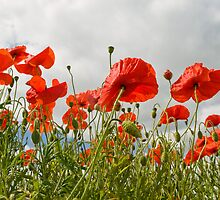 Broadland Poppies by Gerry  Balding