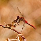 White Faced Meadowhawk Dragonfly by Michael Cummings