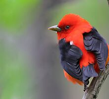 Scarlet Tanager by MIRCEA COSTINA