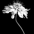 Scabiosa ochroleuca by Photography  by Mathilde