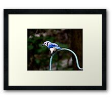 Beautiful Blue Jay Framed Print