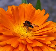 Munching On Marigolds :) by Susie Peek
