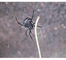 Busy Black Widow Photographic Print