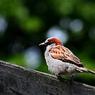 Sparrow on a fence by Javimage