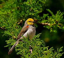 Verdin by John Absher