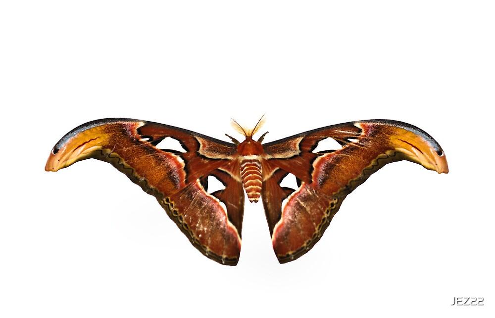Atlas Moth by JEZ22